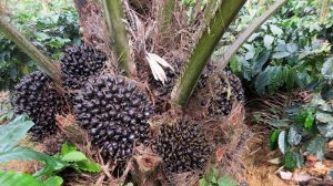 Oil Palm Plantations & Ecofriendly Shade Coffee