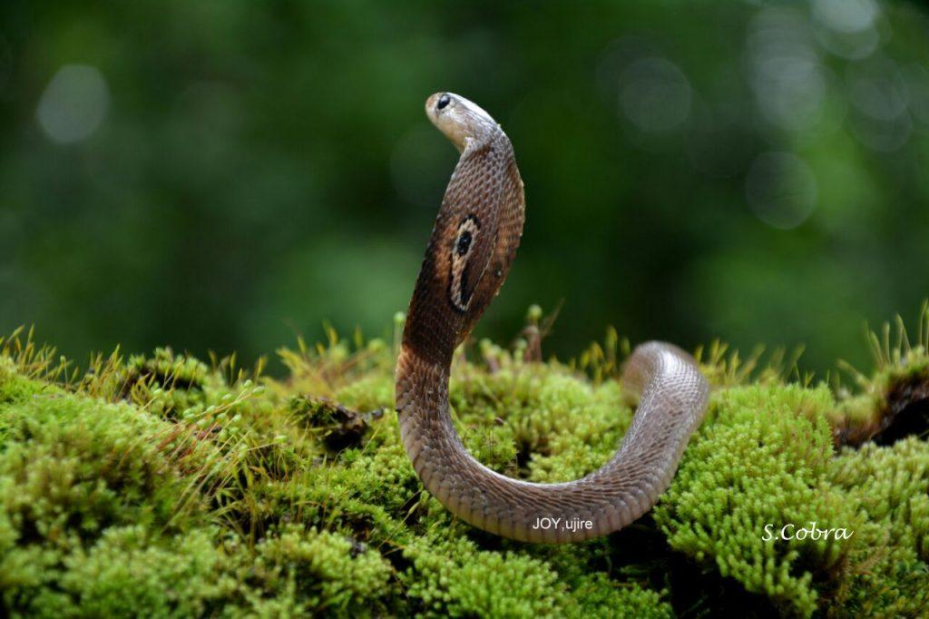spectacled-cobra-slide-1