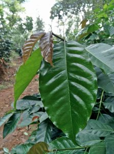 Key Role of Humic acid in Growth and Development of Arabica Coffee in South India.