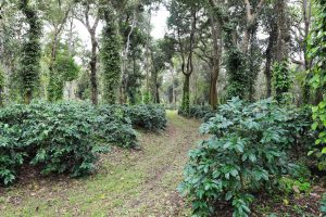 Importance of Healthy Coffee Soils