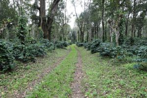 Biological Nitrogen Fixation and its Importance in Coffee