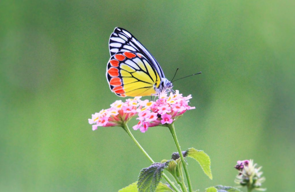 the second source of their colour is a fascinating phenomenon known as iridescence iridescence is a key attribute where the butterflies get their colour - Butterflies To Color 2