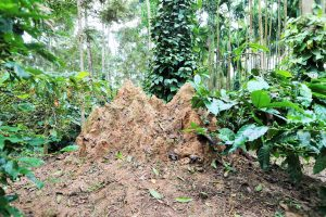 Termites as Environmental Bio-indicators inside Coffee Forests