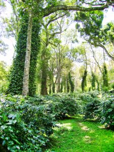Tree Criteria And It's Importance In Shade Coffee