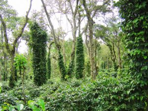 Eco-friendly Indian Shade Coffee and the Importance of Shade trees & Roots.