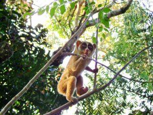 Slender Loris inside Coffee Forests