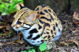 The Elusive Leopard Cat
