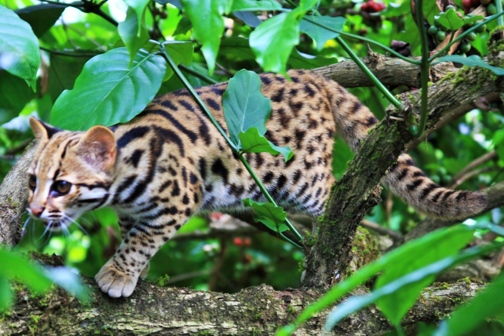 indian leopard cat