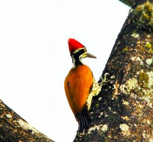Woodpeckers as Keystone Species in Eco-Friendly Shade Coffee