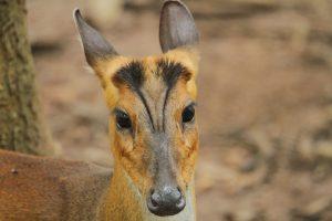 Barking Deer: An Elusive Mammal inside shade coffee